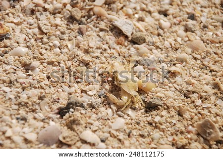 Marine crab on a sandy beach - stock photo