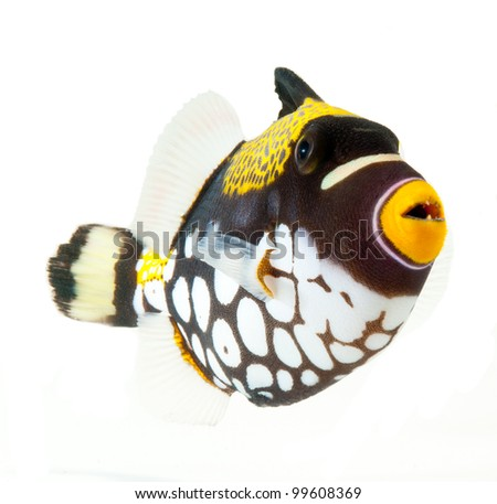marine fish, clown triggerfish, reef fish, isolated on white background - stock photo