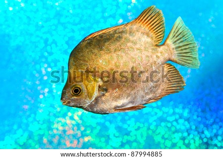 Marine fish Scatophagus argus atromaculatus on shiny background