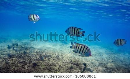 Marine fish underwater. - stock photo