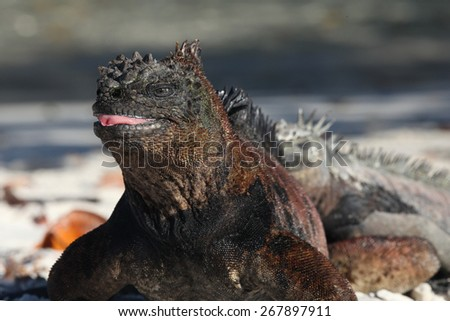 Marine iguana, Galapagos islands, wildlife, mimicry, mimesis, - stock photo