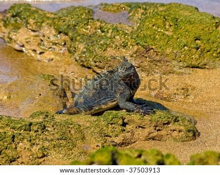 Marine iguana in the Galapagos Islands - stock photo