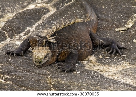 Marine iguana sunning on the rocks in the Galapagos Islands