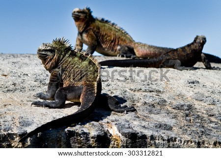 Marine iguanas relaxing on a rock in the Galapagos Islands, Ecuador. Selective focus