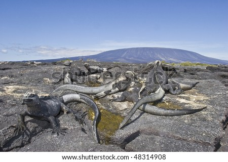 marine iguanas stay in the sun in front of volcano in Fernandina island, Galapagos - stock photo