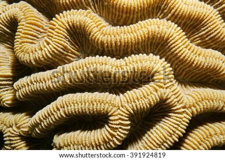 Marine life, close up of boulder brain coral ridges, Colpophyllia natans, Caribbean sea - stock photo