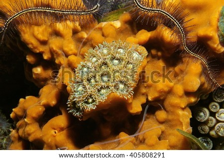 Marine life, colony of mat zoanthids surrounded by cliona sea sponge, Caribbean sea - stock photo
