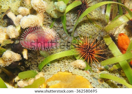 Marine life underwater on the seabed with a split-crown feather duster worm and a reef urchin, Caribbean sea, Central America - stock photo