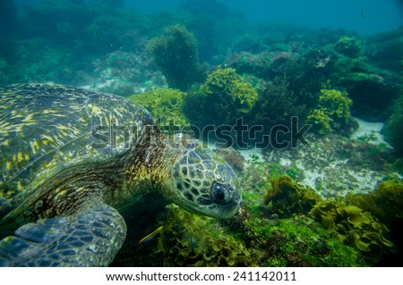 marine turtle swimming underwater in galapagos islands ecuador - stock photo