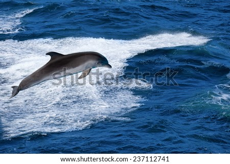 Marine wildlife background - bottlenone dolphin jumping over sea waves
