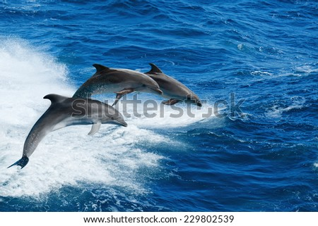 Marine wildlife background - three bottlenone dolphins jumping over sea waves - stock photo