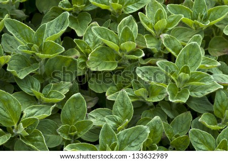 Marjoram 'Origanum vulgare' Herb Horizontal - stock photo