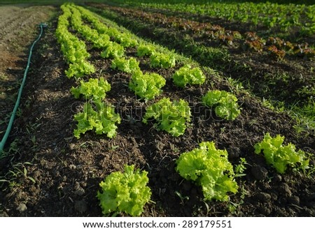 Market Garden Lettuce Growing. Rows of young lettuce growing in a market garden.  - stock photo