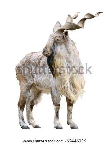 Markhor male (Capra falconeri) isolated on white background