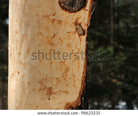 Marks and scrapes on tree trunk caused by gnawing of porcupine with incisor teeth - stock photo