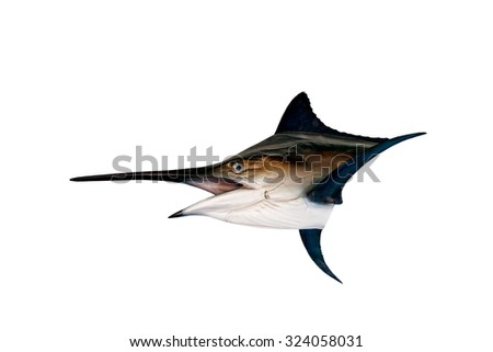 Marlin - Swordfish,Sailfish saltwater fish (Istiophorus) isolated on white background , with clipping path. - stock photo