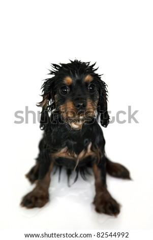 Marmaduke the black and tan Cavalier King Charles spaniel puppy gets a bath - stock photo