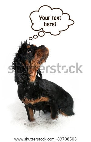 Marmaduke the black and tan Cavalier on white background with think bublle and space for your text. - stock photo
