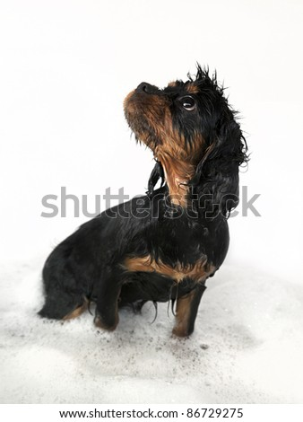 Marmaduke the black and tan King Charles Cavalier puppy takes a bath. - stock photo