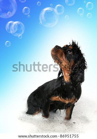 Marmaduke the black and tan King Charles Cavalier puppy takes a bath. Floating bubble background with space for your text. - stock photo