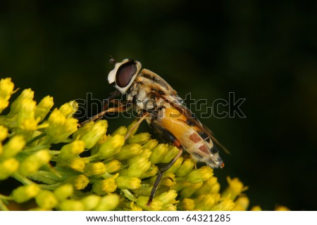 Marmalade hoverfly (Episyrphus balteatus) on a flower - stock photo
