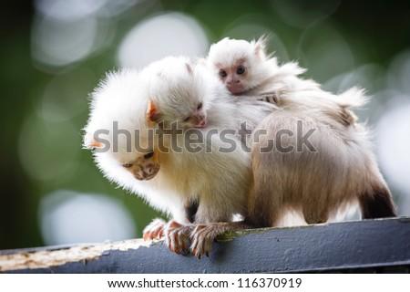 Marmoset family - stock photo