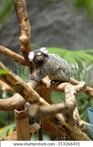 Marmoset is the smallest monkey found in the Amazon   - stock photo