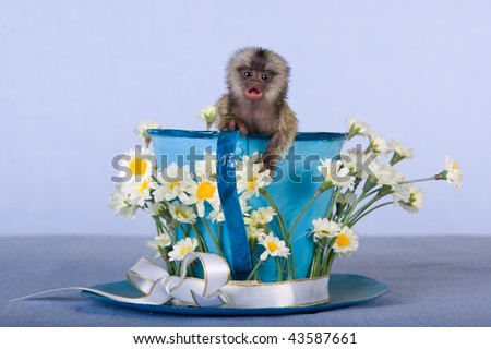 Marmoset monkey in oversize cup decorated with white daisies - stock photo