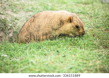 Marmot in green field