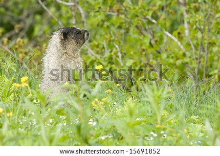 Marmot in the highlands of the Alaskan wilderness - stock photo