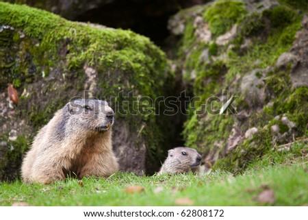 Marmot (Marmota marmota) - stock photo