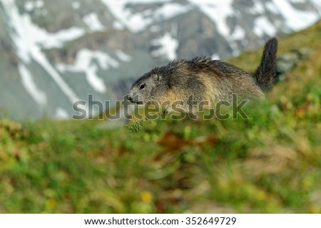 Marmot, Marmota marmota, Cute animal running in the grass with snow mountain in the background, nature rock habitat,  Alp, Italy - stock photo
