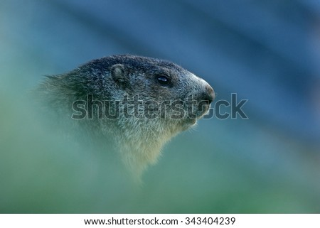 Marmot, Marmota marmota, cute animal sitting in the grass with nature rock mountain habitat,  before sunrise, Alp, France - stock photo