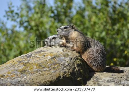 marmot pair - stock photo