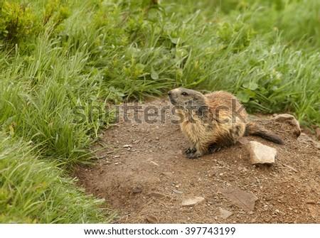 Marmota marmota latirostris, subspecies of alpine marmot living only in High tatras mountains, Slovakia in the beginning of summer, on steep grassy hillside near to its c.  - stock photo