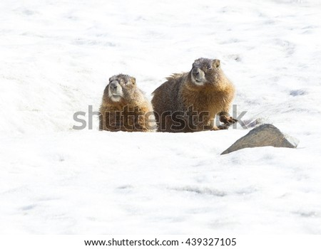 Marmots in Rocky Mountains National Park, Colorado