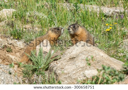 Marmots in the Rockies of Colorado.  - stock photo