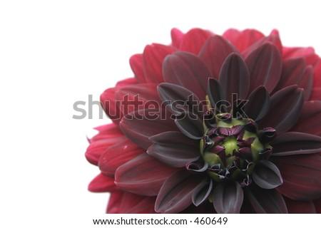 maroon dahlia - stock photo