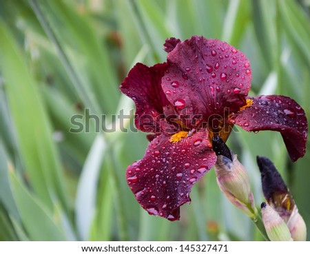 Maroon iris with water drops in the garden after rain. Selective focus. - stock photo