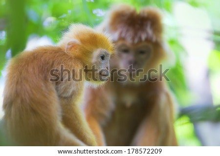 Maroone Leaf Monkeys in the wild of Borneo
