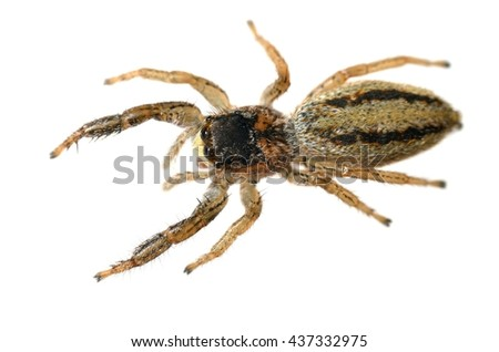 Marpissa radiata jumping spider isolated on white. - stock photo