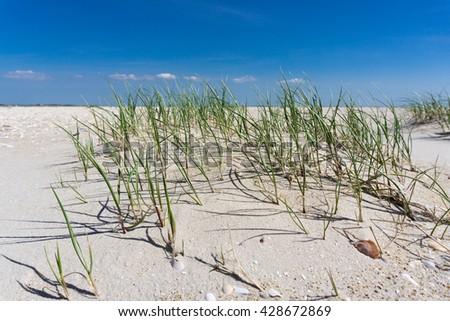 Marram grass â?? beach grass in sand dunes  - stock photo
