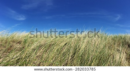 Marram grass in front of bright blue sky - stock photo