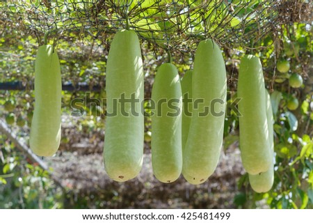 Marrow squash hanging. Marrow squash is hanging on wire rope in farmland - stock photo