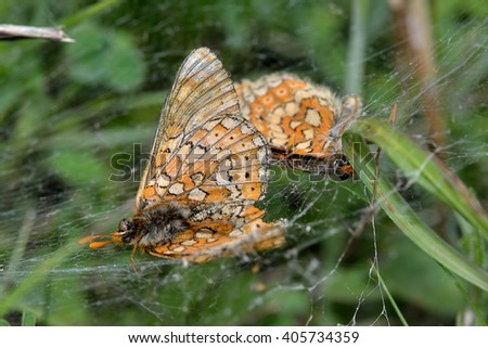 Marsh fritillaries (Euphydryas aurinia) in spider's web. Endangered butterflies in the family Nymphalidae, dead after falling prey to spiders - stock photo