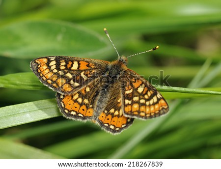 Marsh Fritillary Butterfly - Eurodryas aurinia Wings open