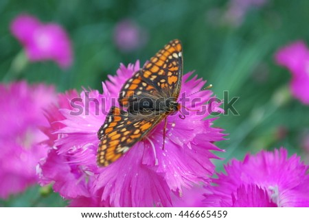 Marsh fritillary sitting on the Dianthus chinensis purple flower. Orange and brown butterfly.