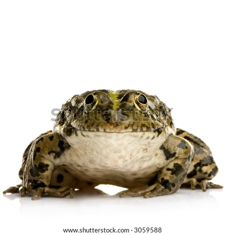 Marsh Frog in front of a white background