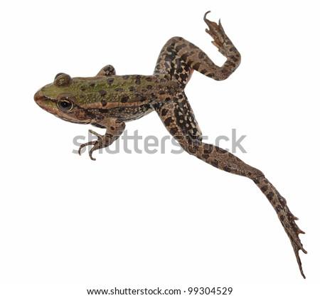 Marsh Frog,  jump, isolated on white background, Pelophylax ridibundus - stock photo