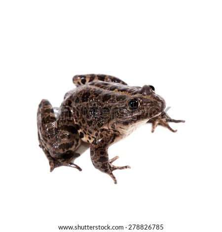 Marsh Frog on white, Pelophylax ridibundus - stock photo